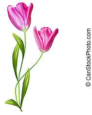 lentebloemen, tulpen, vrijstaand, op wit, achtergrond