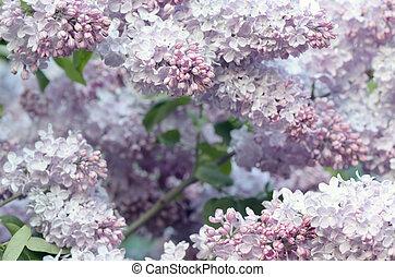 lentebloemen, van, sering