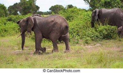 lentement, passes, oreilles, éléphant, majestically, sien, vagues