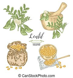 Lentil branch with pods and flowers, ripe lentil seeds in wooden bowl and rustic sack. Hand drawn legumes. Vector illustration in vintage engraved style.