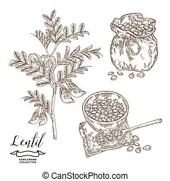 Lentil branch with pods and flowers, ripe lentil seeds in wooden bowl and rustic sack. Hand drawn legumes. Vector illustration engraved.