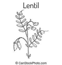Lentil Lens culinaris