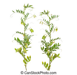 lentil plant or Lens culinaris or Lens esculenta. With flowers and podsisolated