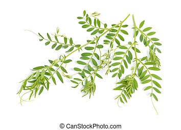 lentil plant or Lens culinaris or Lens esculenta. With flowers isolated