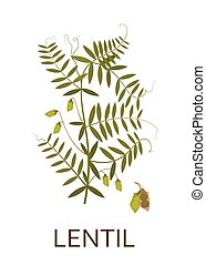 Lentil plant with leaves and pods. Vector illustration.