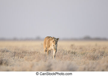 leoa, caça