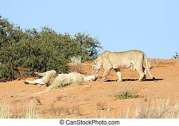 leoas, duna areia