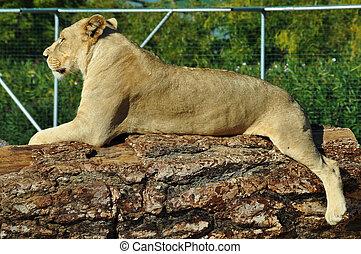 leona, africano