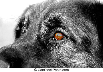 leonberger's eyes