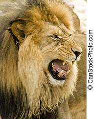 leone, ruggire, primo piano
