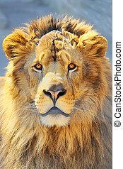 leone, testa
