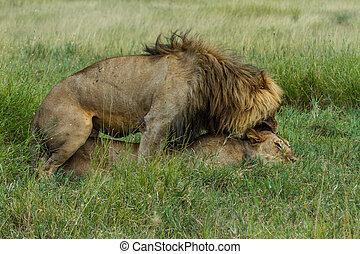 Le n pareja mating im genes de archivo buscar fotos de archivo fotograf as y fotos de - Leones apareamiento ...