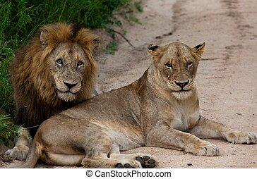 leones, tanzania, parque, nacional
