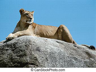 leonessa, dire bugie, su, roccia