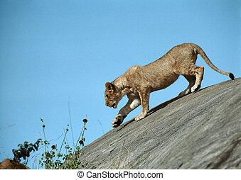 leonessa, su, roccia