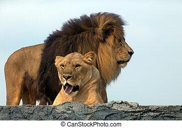 leoni, leone africano, safari