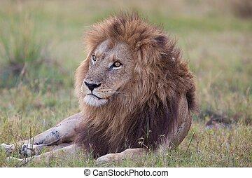 leoni, tanzania, parco, nazionale
