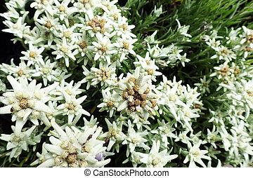 Leontopodium alpinum plant