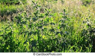 Leonurus cardiaca - a herbaceous perennial plant of family -...