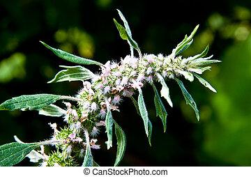 Leonurus cardiaca, Leonuri Herba is a medicinal grass. It is used as cardiac.