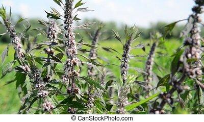 Leonurus cardiaca, known as motherwort, is herbaceous...