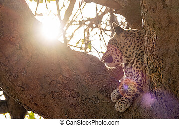 Leopard against the sun over the tree, bottom view