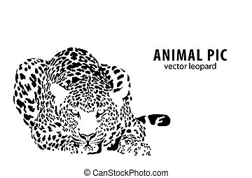 leopard - Vector illustration of a leopard on white...