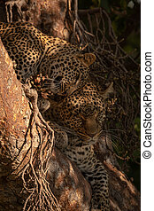 Leopard cub lying in tree nuzzles mother
