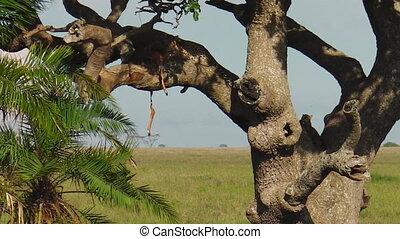 Leopard cub on a tree - Leopard cub feeding in Serengeti...