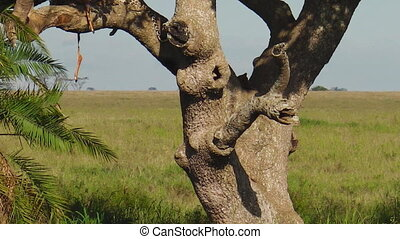 Leopard cub resting on a tree in Serengeti National Park,...