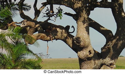 Leopard cubs on a tree feeding - African Leopard with cubs,...