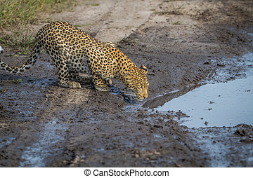 Leopard drinking from a pool of water.