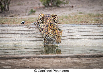 Leopard drinking water at a waterhole.