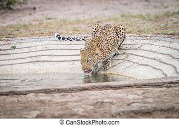 Leopard drinking water at a waterhole.