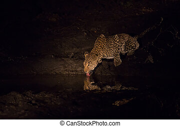Leopard drinking water at night at a pond in spotligh