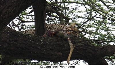Leopard eating pray - Leopard on a tree feeding with its...