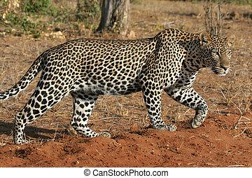 leopard, flytte