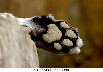 Leopard Foot Panther Panthera pardus