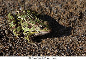 Leopard Frog Sitting