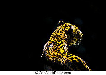 leopard from the dark