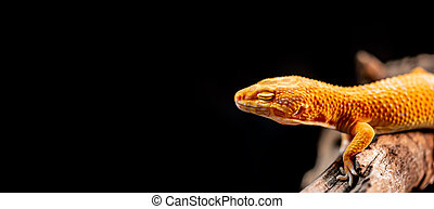 leopard gecko on the wood in the forest, isolated on black background