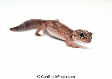 Leopard gecko on white - Leopard gecko, Eublepharis...