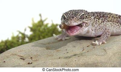 Leopard gecko standard form, Eublepharis macularius eating ...