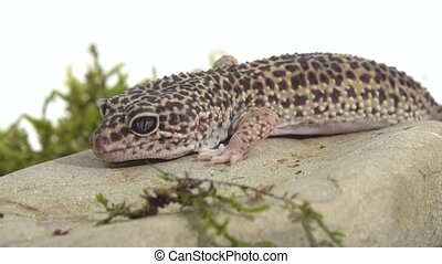 Leopard gecko standard form, Eublepharis macularius on green moss in white background. Close up.