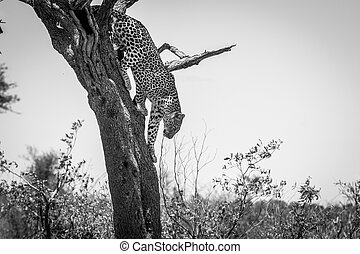 Leopard in a tree in black and white in the Kruger National Park, South Africa.