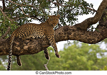 Leopard (panthera pardus) in a tree in Kruger Park