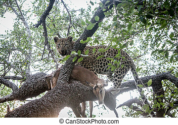 Leopard in a tree with an Impala kill.