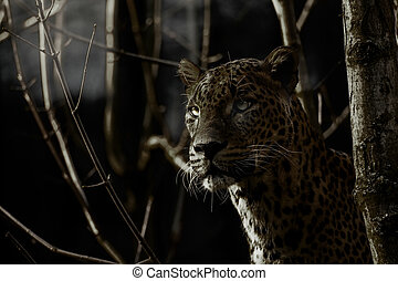 Leopard in forest in night