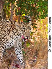 Leopard in savannah - Leopard (Panthera pardus) rlicking his...
