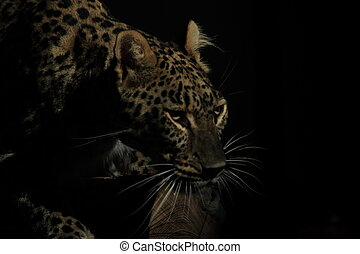 Leopard in the darkness